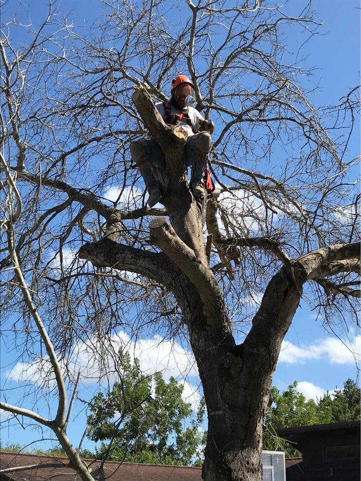 Tree trimming Corpus Christi